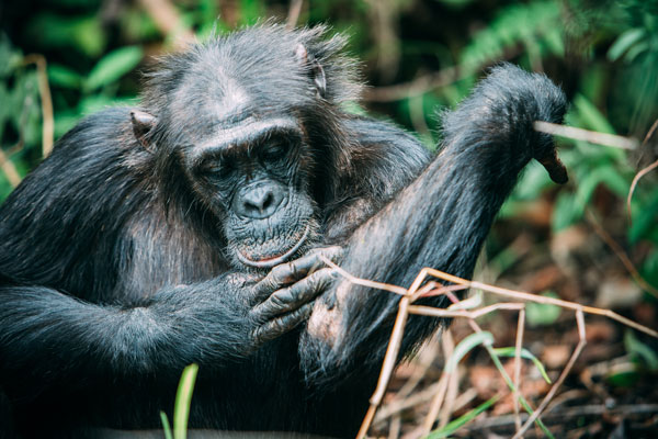 Chimpanzees have complex social structures and spend plenty of time grooming