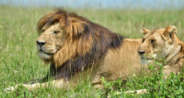 BBC Dynasties - Lion - lions in the Masai Mara