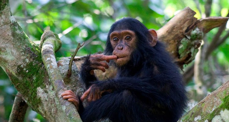 BBC Dynasties Chimp Safaris in Africa