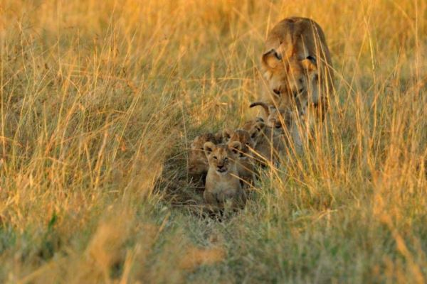 Lioness and cubs close to Little Governors Camp, Masai Mara