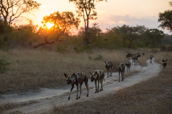 Wild dog pack at Londolozi, South Africa