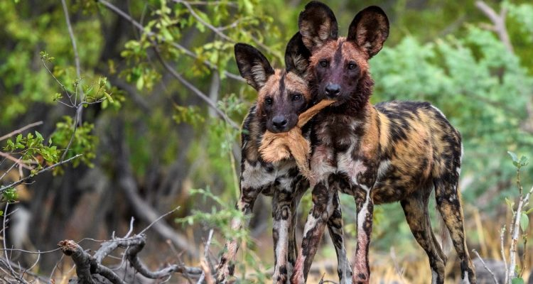 BBC Dynasties - Wild Dog