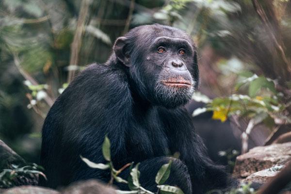 Rubondo Island chimpanzee, Tanzania