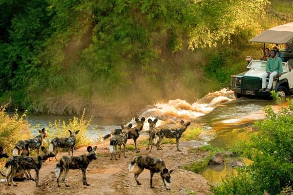 Wild dog on a game drive in Madikwe Game Reserve, Morukuru River Lodge, South Africa