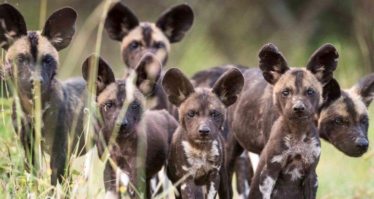 wild dog pack at Laikipia Wilderness