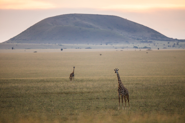 Giraffe in the Chyulu Hills, Ol Donyo Lodge, Kenya