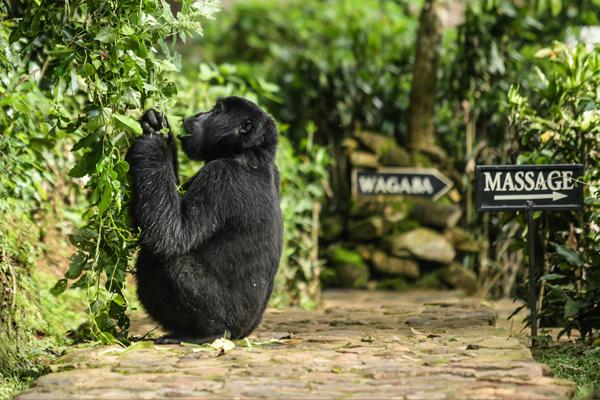 Gorilla at Bwindi Lodge, Bwindi Impenetrable Forest, Uganda