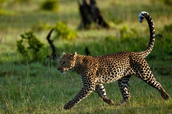Kicheche Mara leopard