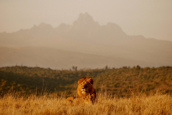 Lion at Borana Lodge with Mount Kenya in the background