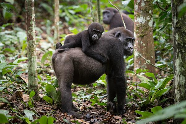 Western lowland gorilla trekking at Lango Camp