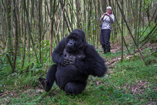 Meeting mountain gorillas Volcanoes National Park, Rwanda