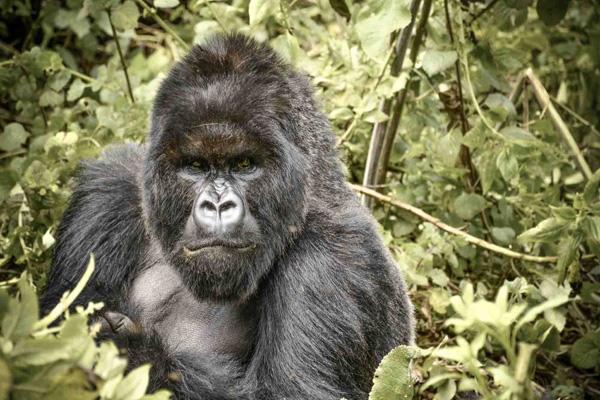 Mountain gorilla, Virunga National Park, Rwanda