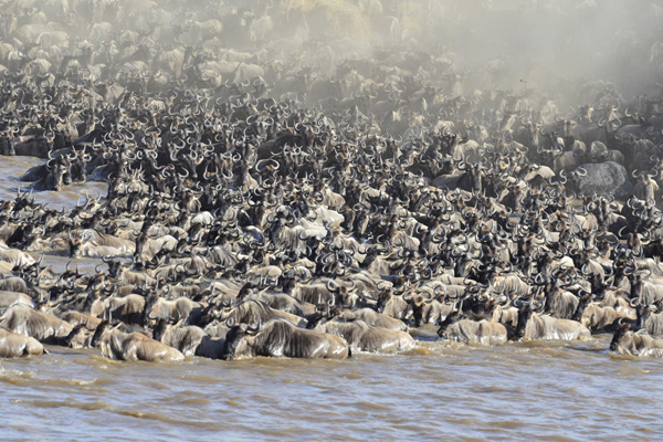 Tangulia Mara Camp wildebeest river crossing