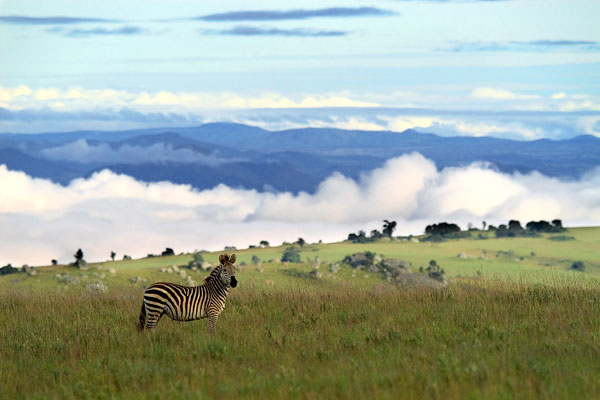 Zebra on the Nyika Plateau, Malawi