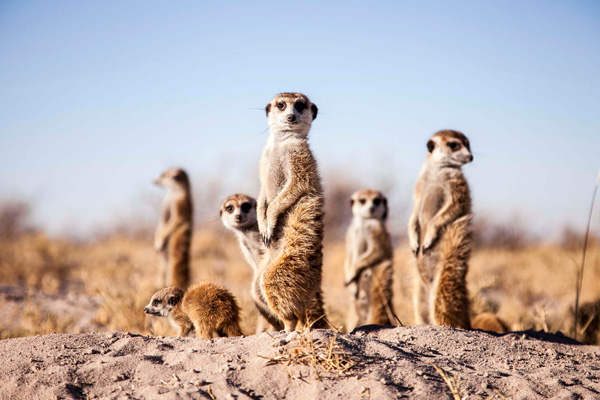 Meerkats in the Kalahari will quite happily use humans as a look out post