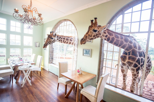 Waiting patiently for breakfast at Giraffe Manor