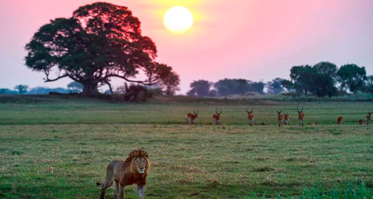 Top experiences Zambia Lion at sunset