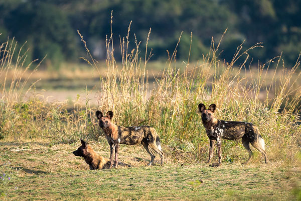 Wild dog in the South Luangwa, Nsolo Camp, Robin Pope Safaris