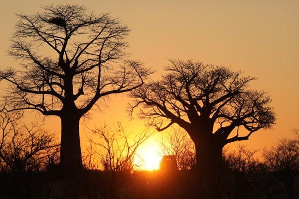 Baobabs at sunset at Mpala Jena, Zimbabwe © Lucinda Rome