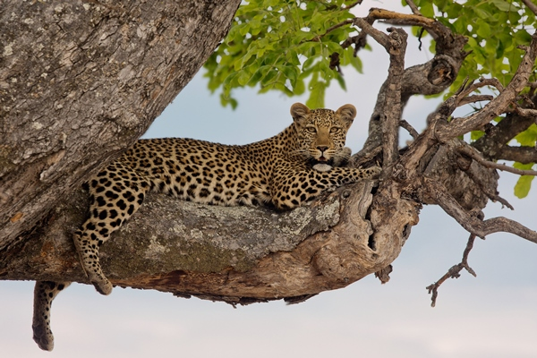 Leopard spotted on a game drive, Kwando Safaris
