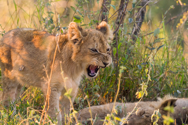 There are plenty of lion cubs in the Sabi Sand reserve