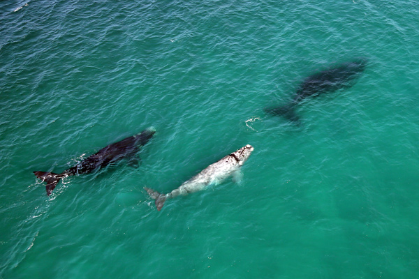 Mother and calf whales at Lekkerwater Beach, De Hoop Nature Reserve, South Africa credit Natural Selection