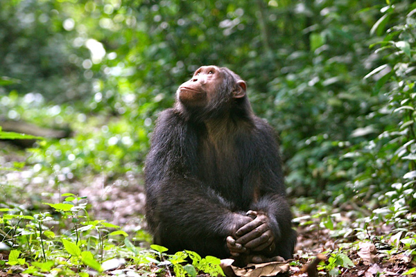 Chimpanzee in the forest looking up, credit Volcanoes Safaris