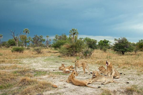 Lion pride, Okavango Delta, Chitabe Lediba, Botswana credit Simon Hartinger
