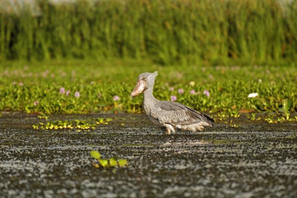 Shoebill wading in Lake Albert