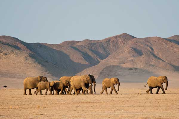 Desert elephant, Damaraland Camp, Wilderness Safaris