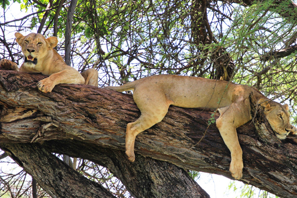 Tree climbing lions Elsa's Kopje