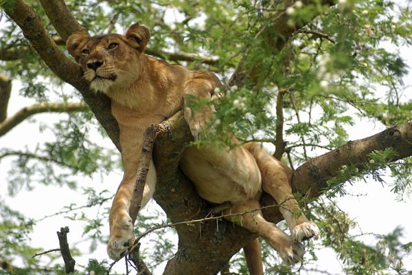 Tree climbing lioness up a tree, Ishasha Wilderness Safaris