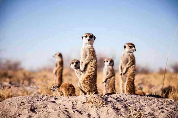 Meerkats in the Makgadikgadi Pans, Jack's Camp