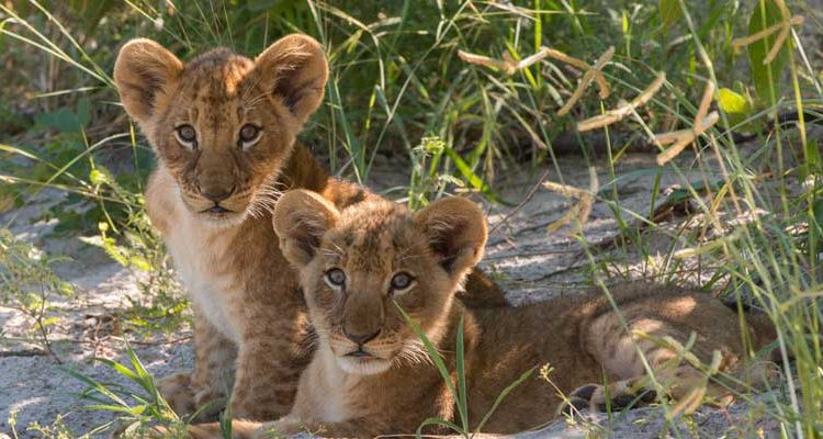 beyond the Okavango Delta - Lebala lion cubs