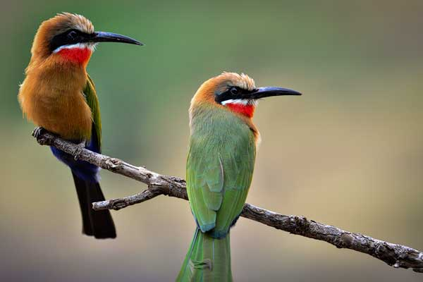 White fronted bee eater, Mashatu Main Camp