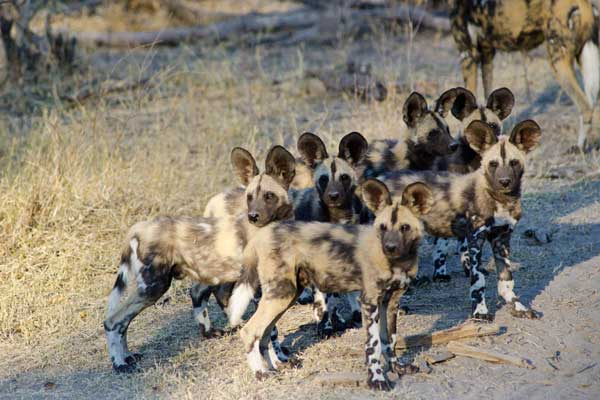 Wild dog pack at Savuti Camp, Linyanti Reserve, Botswana
