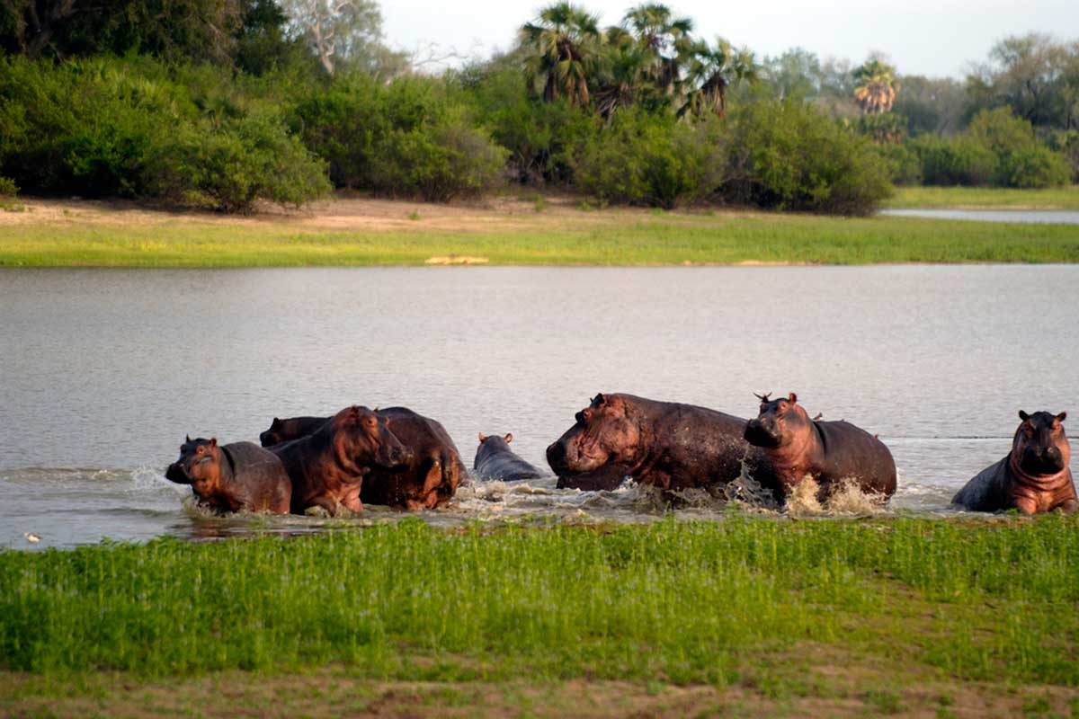 Hippo on the Rufiji River, Selous Impala