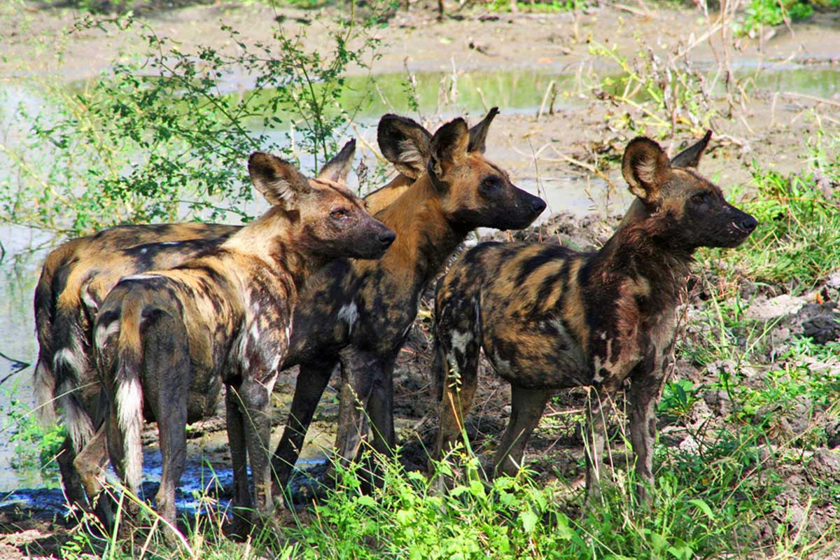 Wild dog in Selous, Selous Impala
