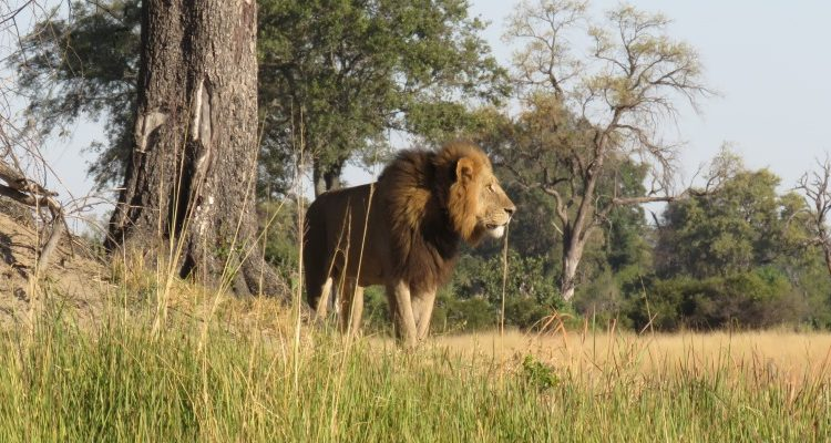 mobile safaris in Botswana - Lion in Botswana