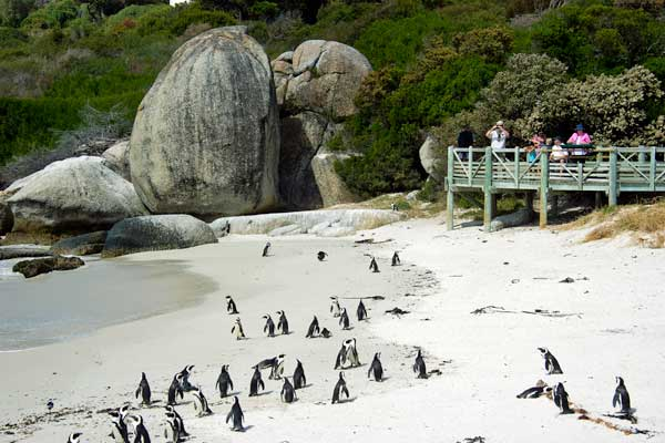 Penguins at Boulders Beach, Wilderness Touring, c Dana Allen