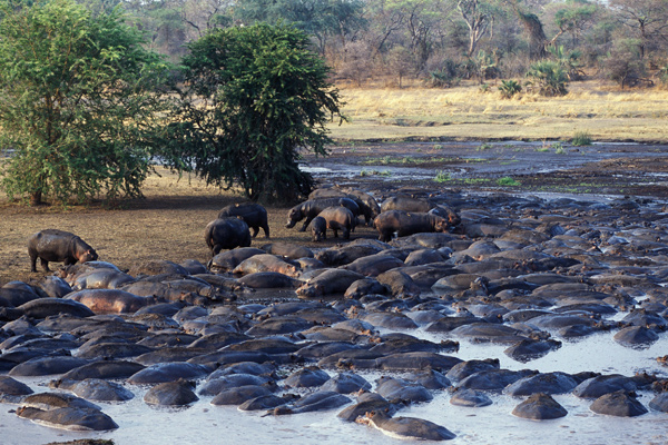 Large hippo population in the river at Chada Katavi, Nomad Tanzania