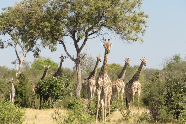 Wonderful wildlife sightings in almost complete isolation - giraffe herd under a tree