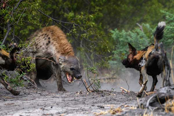 Incredible wildlife interaction at Mombo Camp, Wilderness Safaris hyena and wild dog