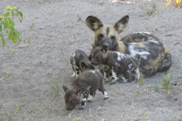 Wild dog pups playing under an adult's watchful eye