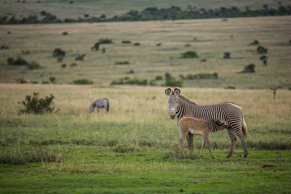 Grevy's Zebra at Borana Lodge