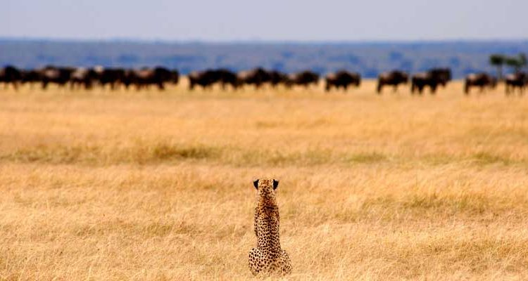 Christmas Safaris in East Africa - Cheetah watching wildebeest in the Serengeti