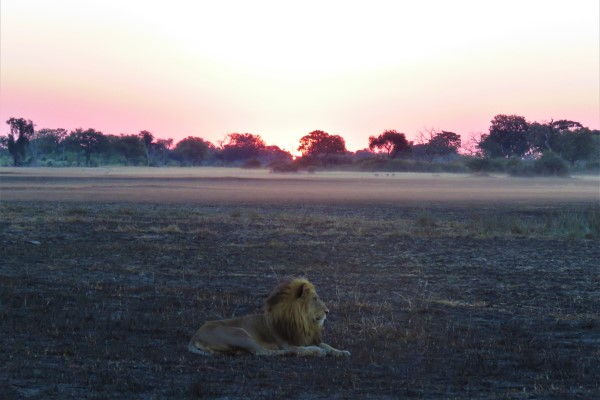 Lion watching the sunset on the pans, Botswana