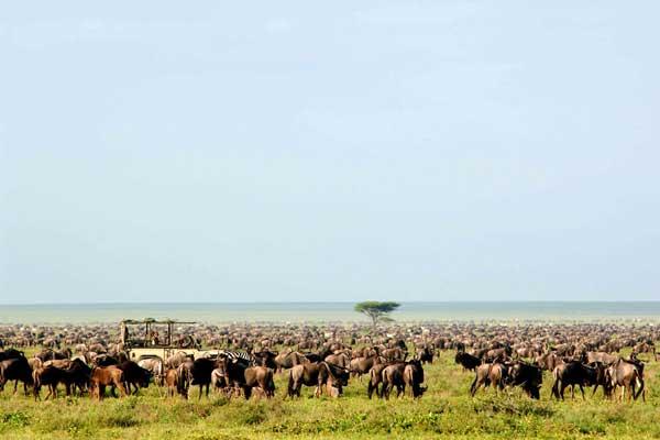 Wildebeest migration in full swing at Serengeti Safari Camp