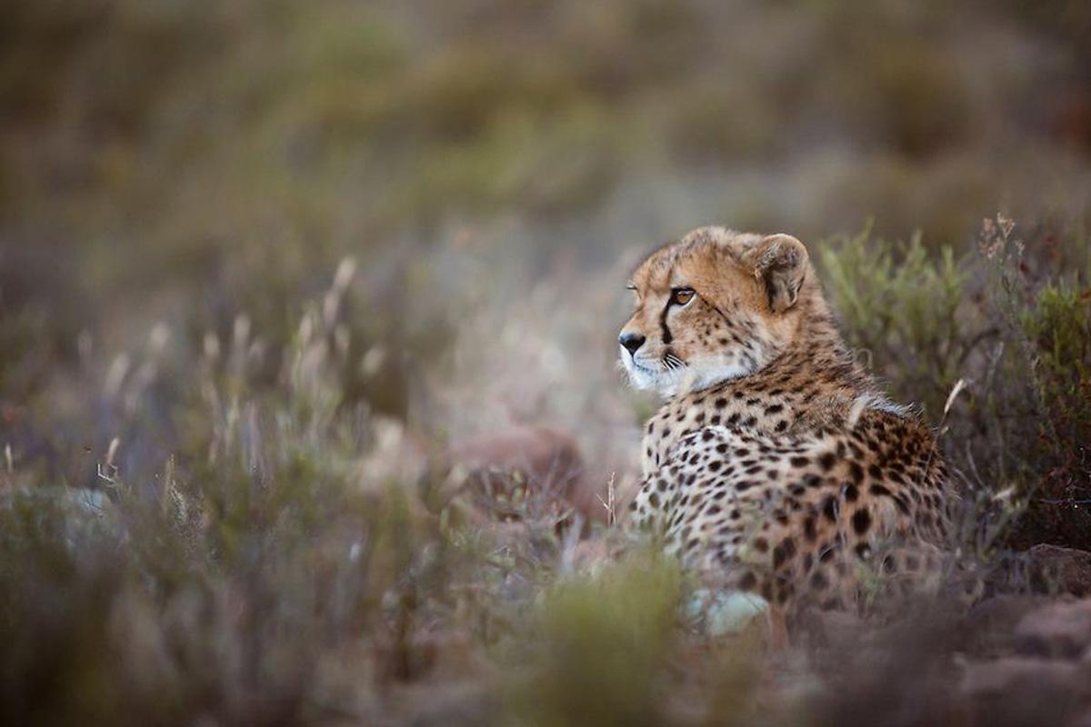 Samara The Manor cheetah