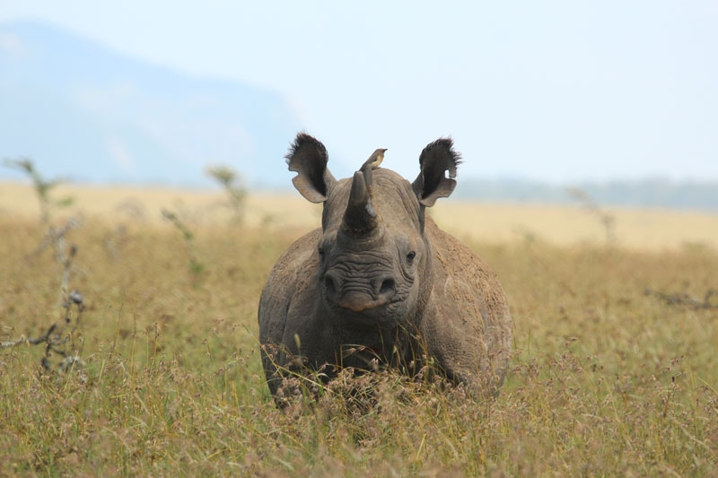 Black rhino and bird at Borana Lodge, Kenya